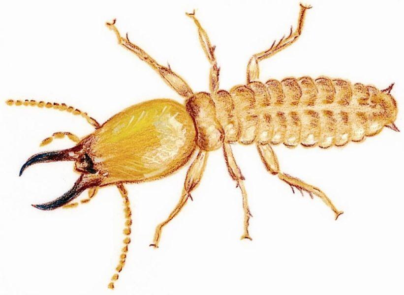 مكافحة النمل الابيض براس تنورة